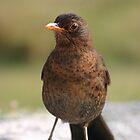 A cute blackbird. by britishphotos