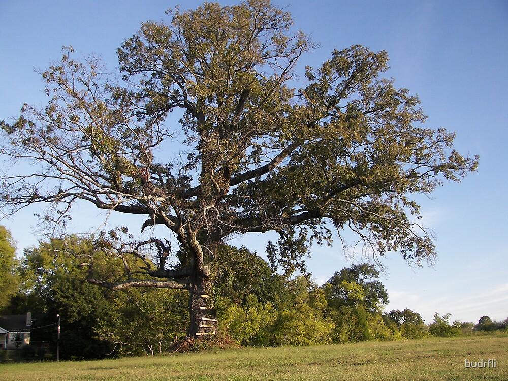 ...the old oak tree... by budrfli