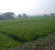 Paddy field by monsoon