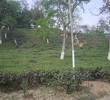 Tea  by monsoon