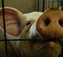 Pig Nose by Richard Peden
