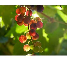 Grapes on the Vine Photographic Print