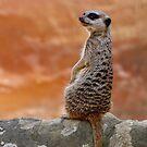 Meercat by Kim Roper