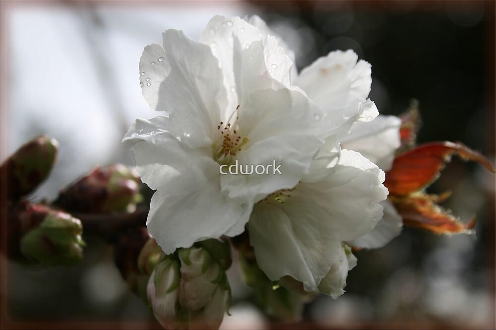 Cherry Blossom by cdwork