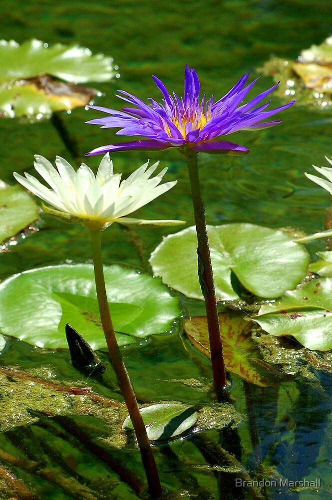 Pond Flowers by Brandon Marshall