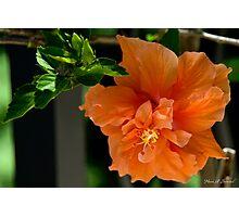 Quiet Orange Hibiscus Photographic Print