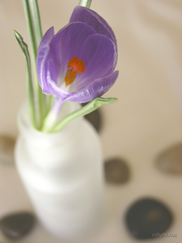 Crocus by cshphotos