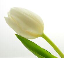 Simple Tulip by cshphotos