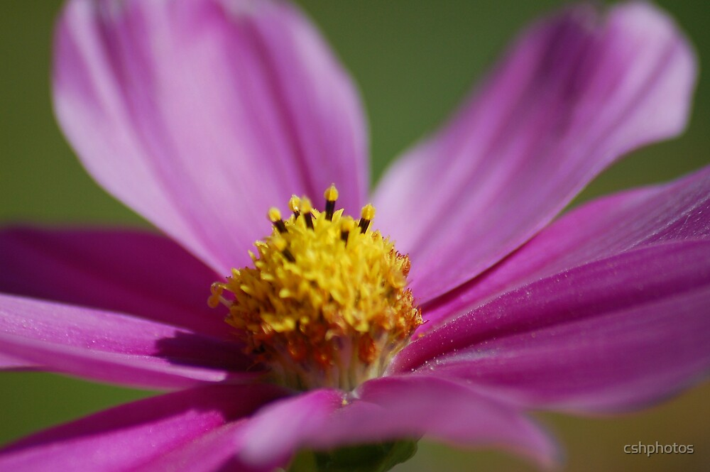 Purple Flower by cshphotos