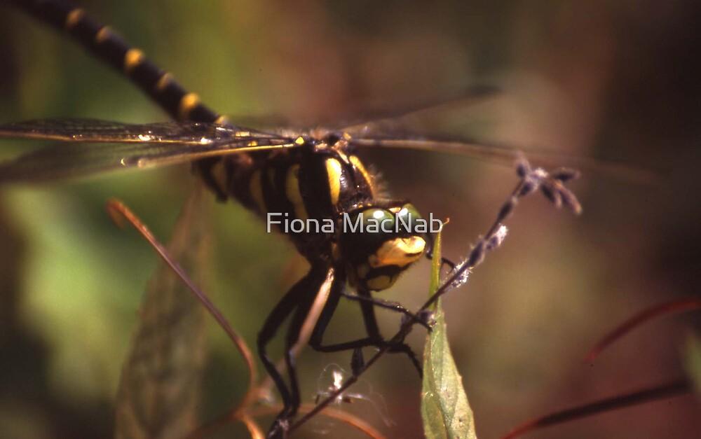 Dragonfly by Fiona MacNab