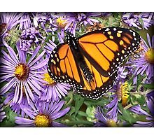 Butterfly Dines Photographic Print
