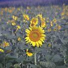 sunflower mirage by budrfli
