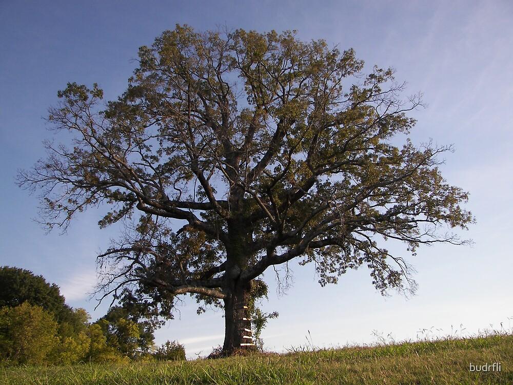 old oak by budrfli