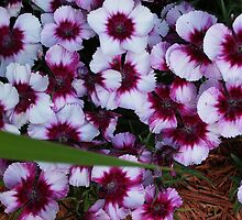 Hot Pink Dianthus by 1FANCY1