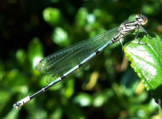 Azure Damselfly by Durotriges