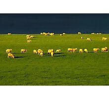 """""""Golden Fleece"""" Photographic Print"""