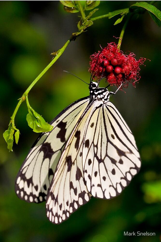 White Butterfly Feeding by Mark Snelson