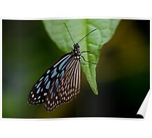 Black & Blue Butterfly on Leaf Poster