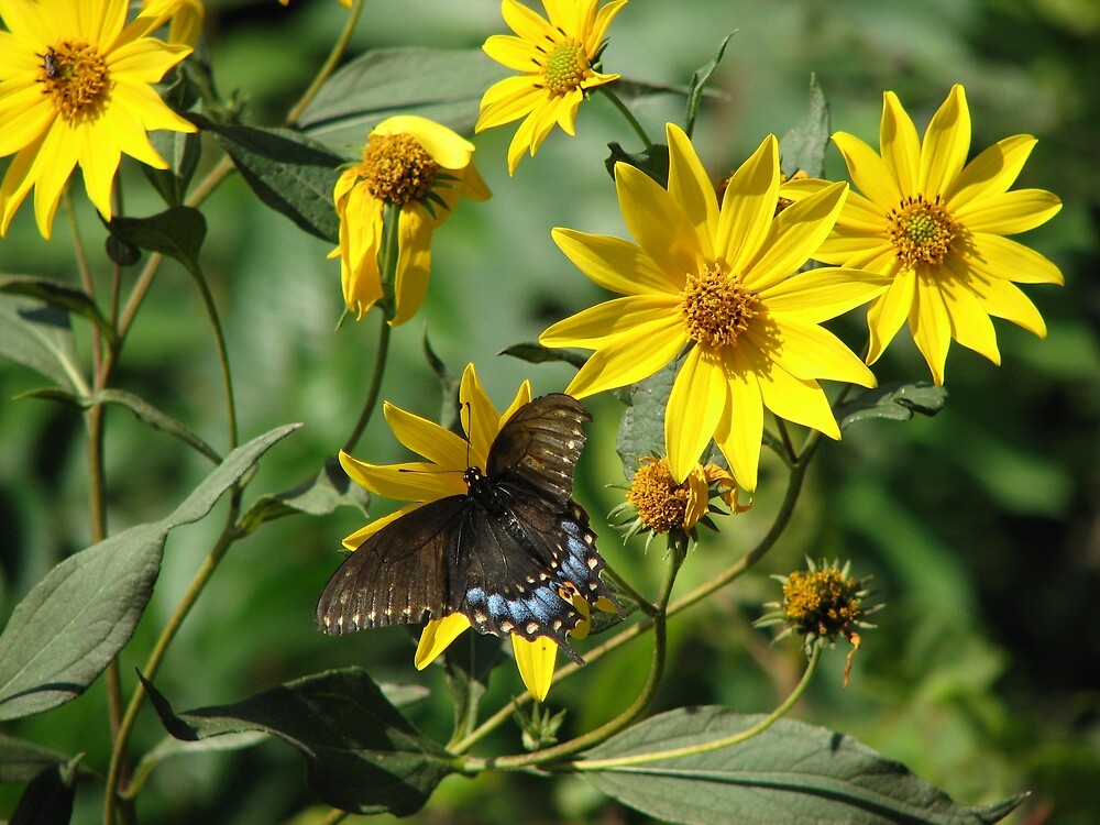Butterfly with yellow daisies by IndyLady