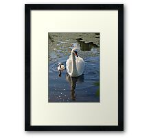 Magestic swans Framed Print