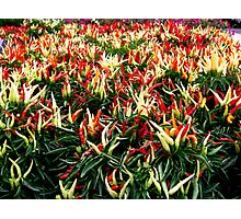 Chili Pepper Plants Photographic Print