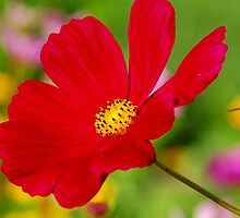 Red Flower by cshphotos