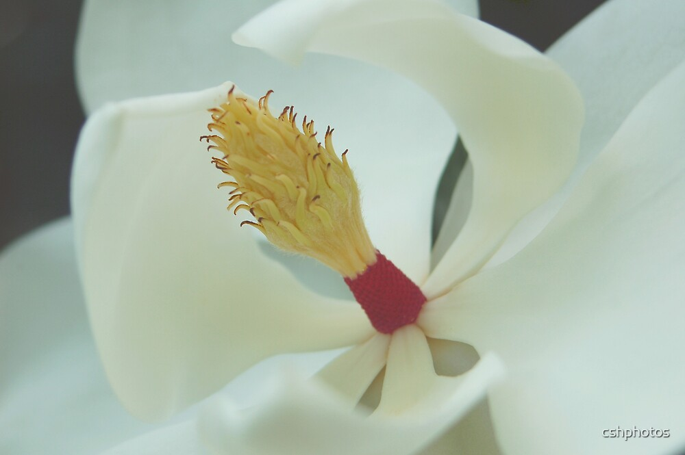 Magnolia Flower by cshphotos