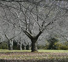 Kinglake Trees by eclectic1