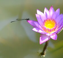 dragonfly by senk