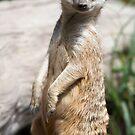 Meerkat by GJdisplay