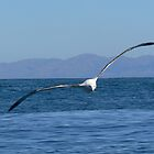 Albatross In Flight by Larry Lingard/Davis