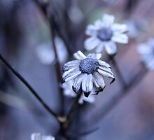 Winterflower by Christian Berven