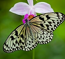 White Butterfly on Purple Orchid by Mark Snelson