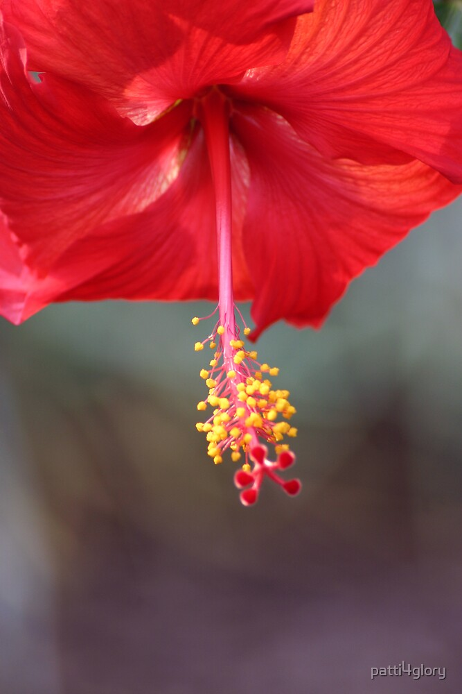 Hibiscus Flower by patti4glory