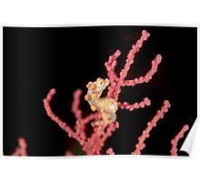 Yellow Pygmy Seahorse - Hippocampus bargibanti Poster