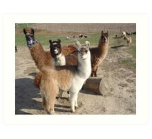 Llama's Art Print