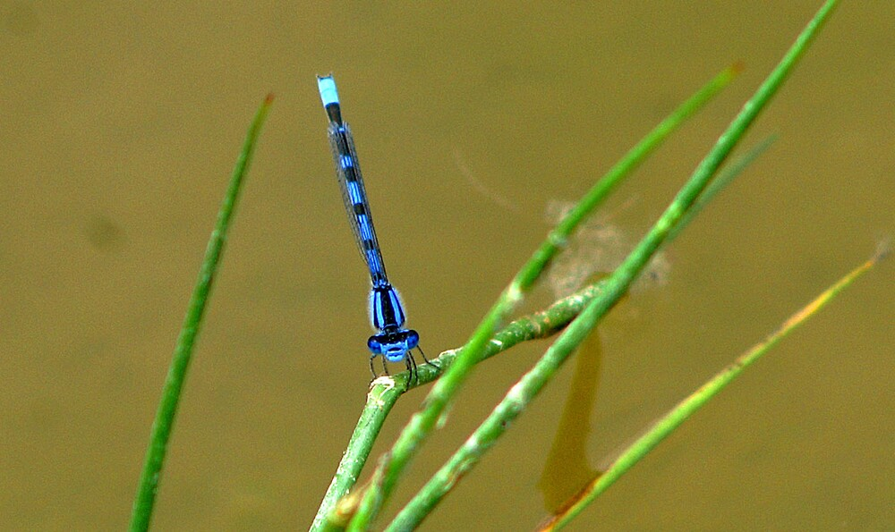 dragonfly by Mien
