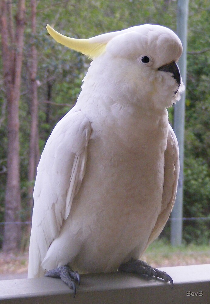 Sulphur-crested Cockatoo II by BevB