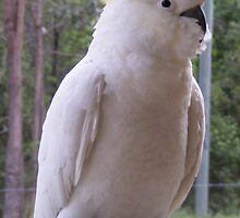 Sulphur-crested Cockatoo II by BevB