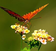 Butterfly Drinking Necter by Brandon Marshall