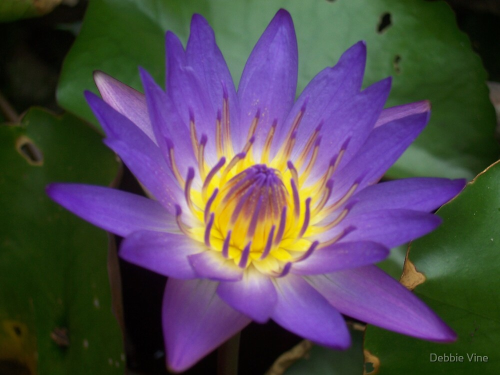 Electric Blue Water Lilly by Debbie Vine