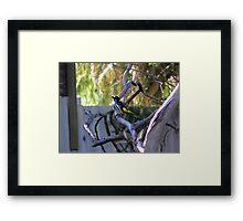 Irate Honey Eater Framed Print