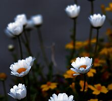 Marguerites by Crokuslabel