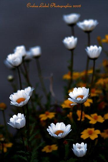 Marguerites by Crokuslabel