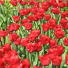multitude of tulips by Splogy