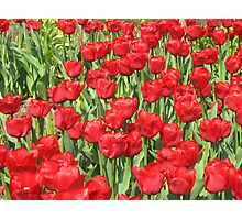 multitude of tulips Photographic Print