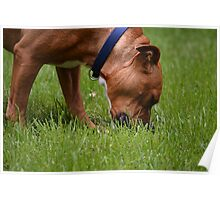 A Grazing Doggie Poster