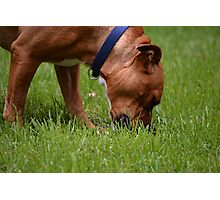 A Grazing Doggie Photographic Print