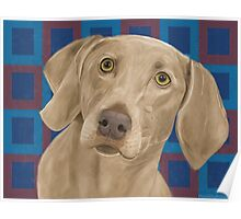 Light Brown Weimaraner on Blue / Red Background Poster