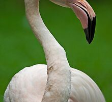 Flamingo 1 by Mark Snelson